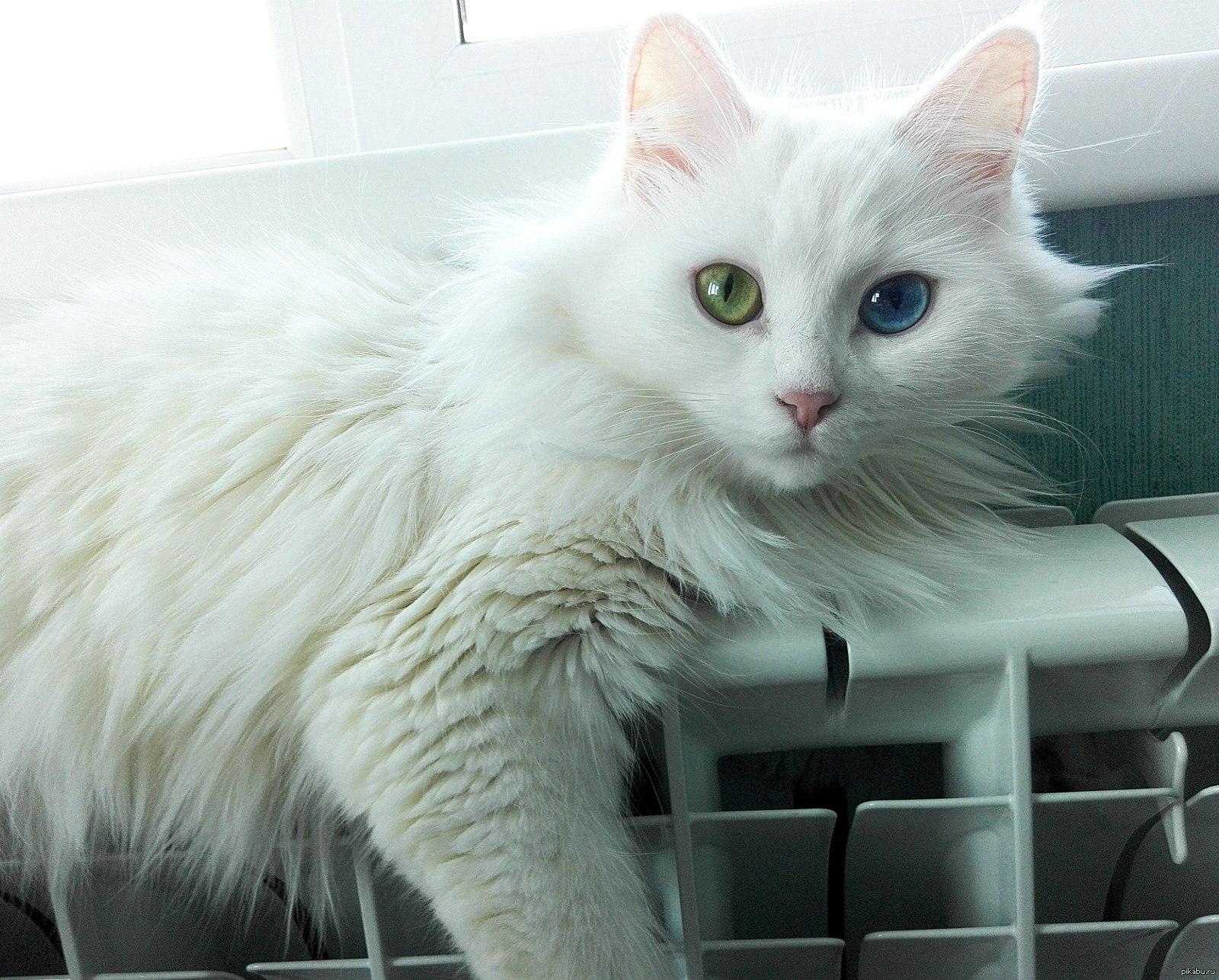 заказе фото белого пушистого кота с разными глазами нейтральные