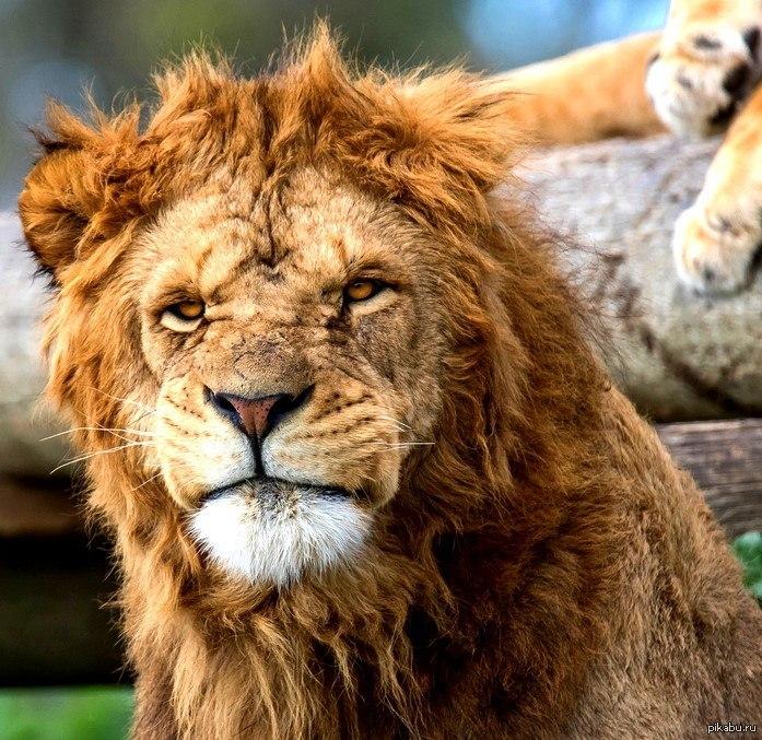 Картинки про льва прикольные, открытки