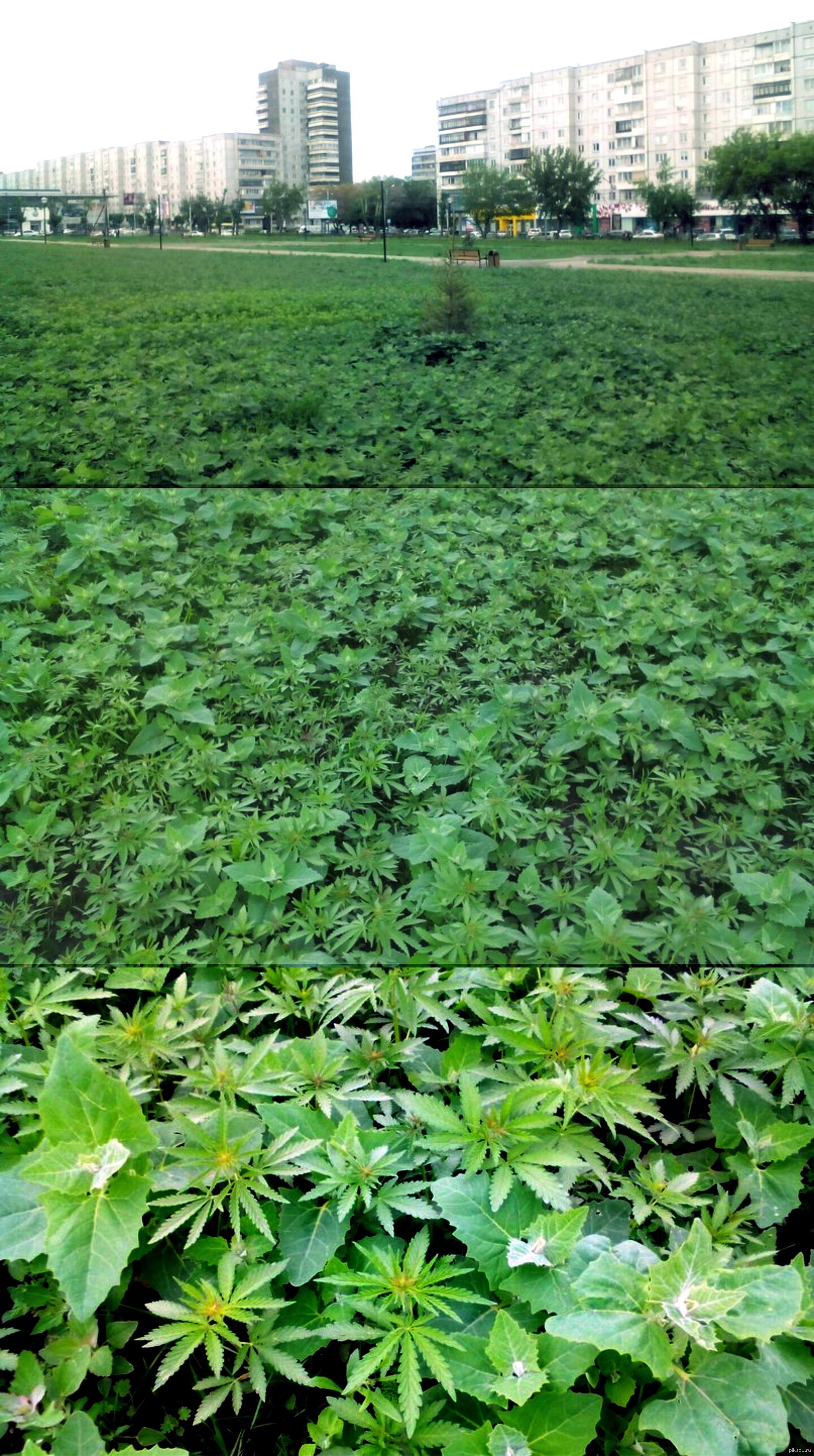 Где растет конопля в красноярске много конопли фото