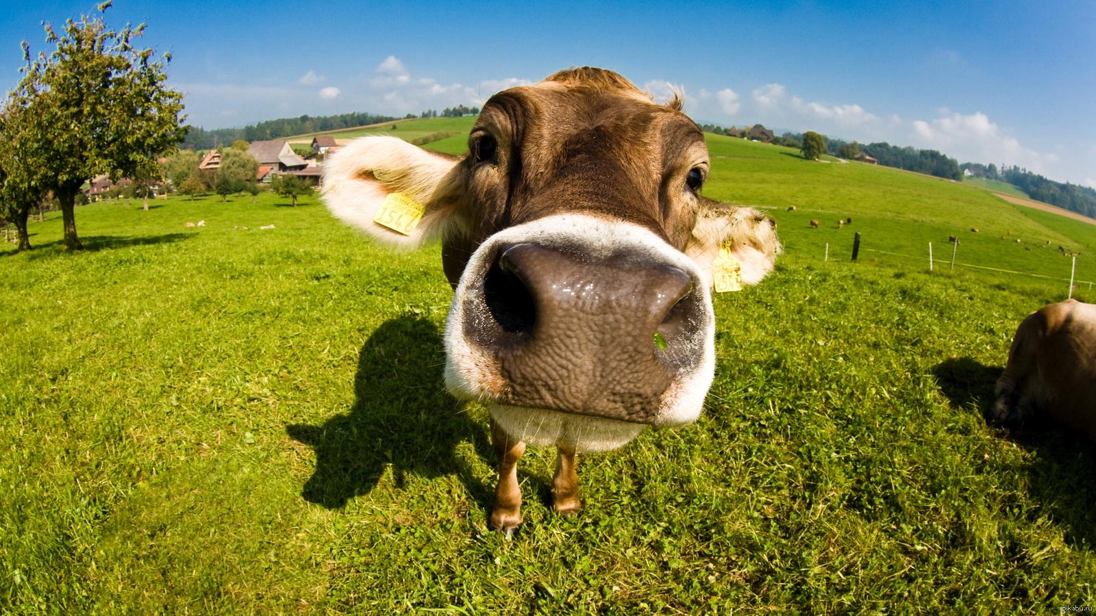 Для, корова смешная картинки