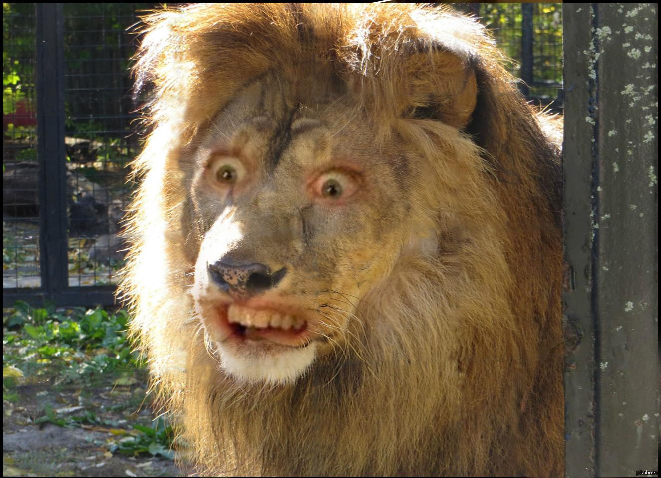 мужа смешные картинки про львов можно