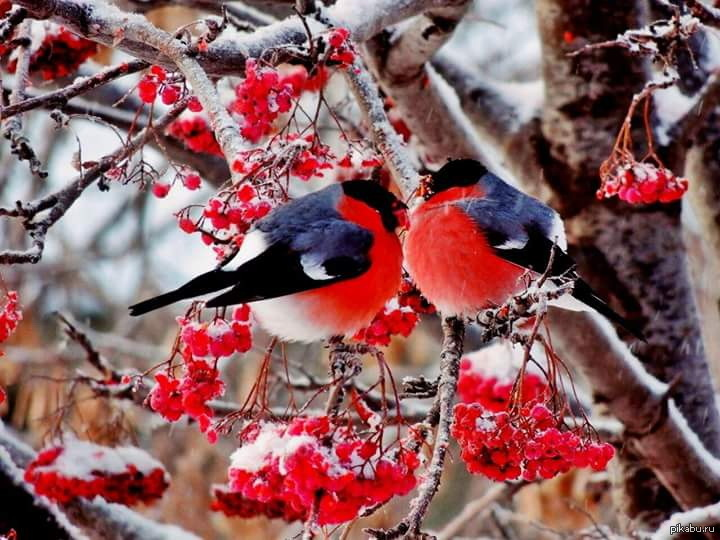 Картинки зимы снегири