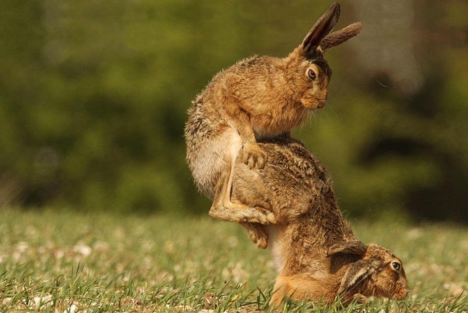 Как трахаются кролики