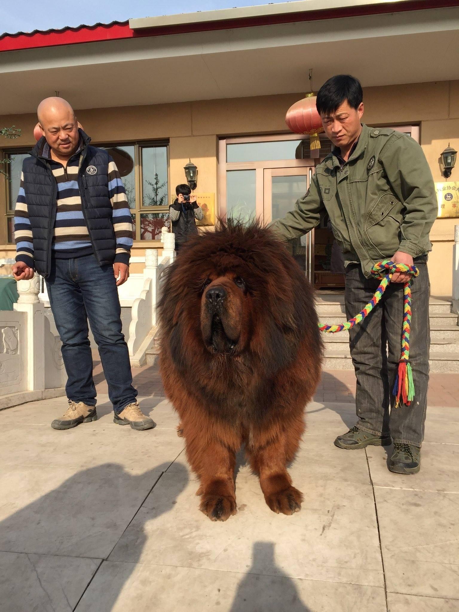 тибетский мастиф сколько мастиф фото